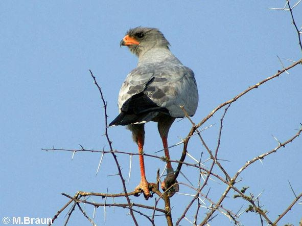 Großer Singhabicht - Melierax canorus