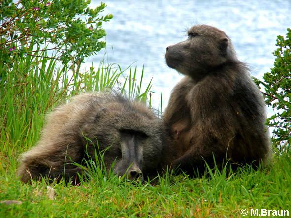 Auch am Kap treiben sich freche Bärenpaviane herum