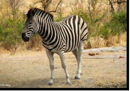 Zebra in Pongola