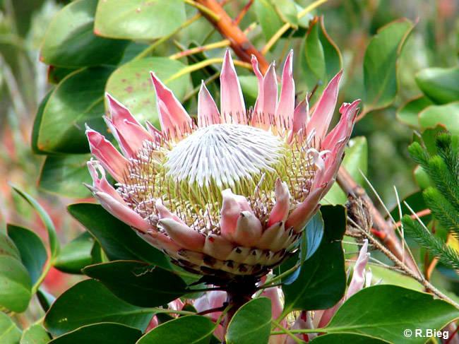 Königsprotea - Protea cynaroides