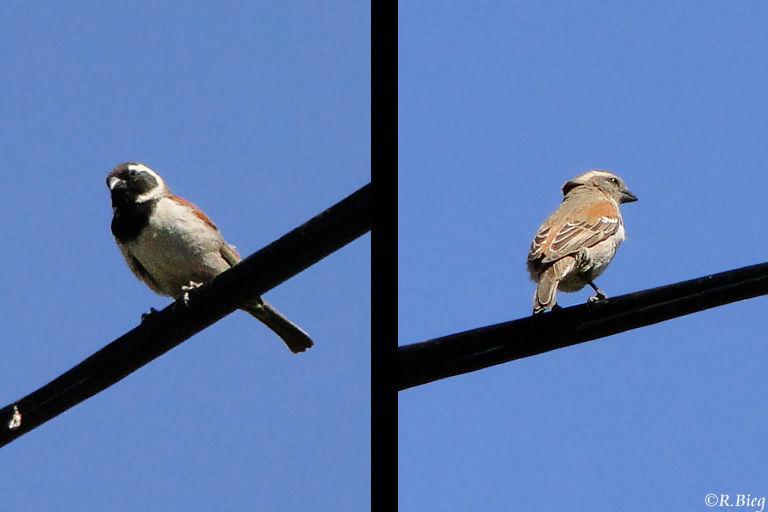 Siedelweber - Philetairus socius - links Männchen, rechts Weibchen