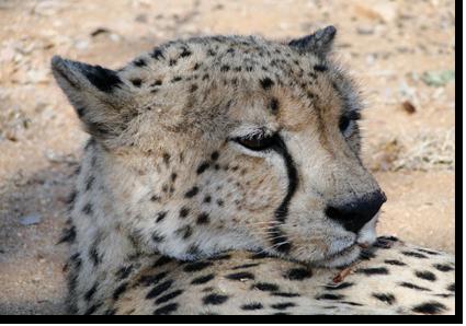 Gepard in Thsukudu