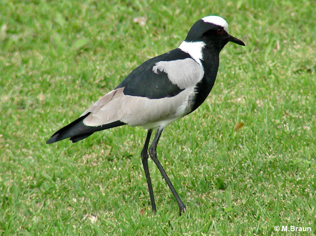 Soldatenkiebitz - Vanellus armatus