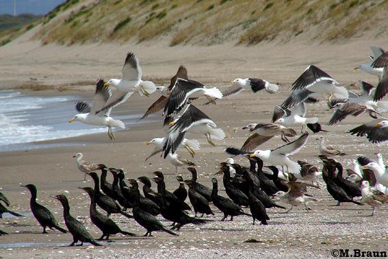 Vogelansammlung am strand