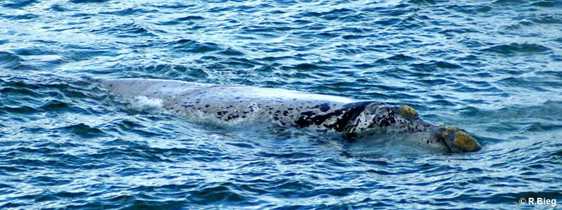 Südlicher Glattwal -  Eubalaena australis- sie können eine Länge von ca. 18 m erreichen und haben meist Seepocken am Kopf