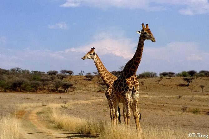 Giraffen sieht man viele in Pongola - Giraffa camelopardis