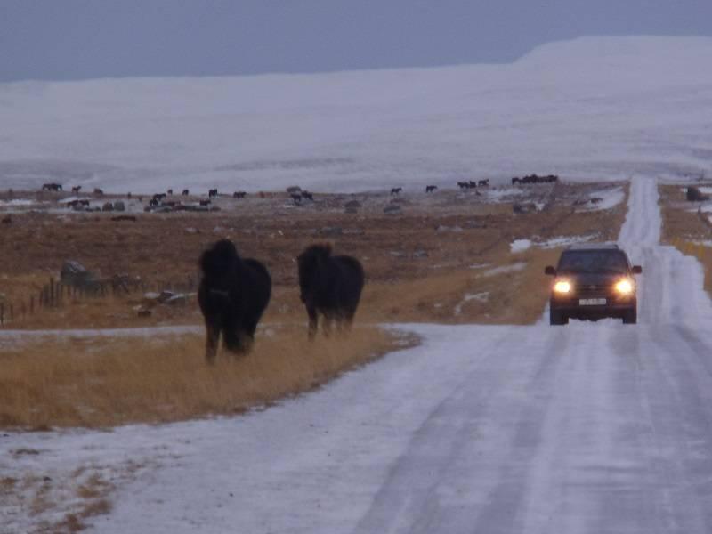 Pferdetreiben auf isländische Art