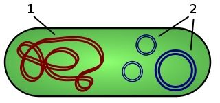 replikation bei pro und eukaryoten