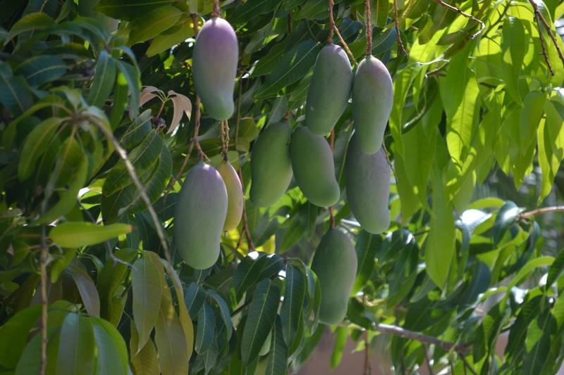 Mangobaum