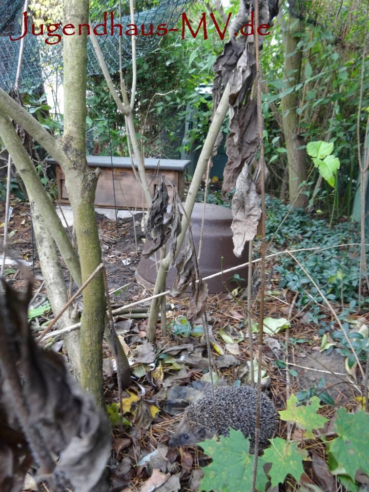 überwintertes Igel-Jungtier im Früjahr in einem Auswilderungsgehege zur Vorbereitung auf das Leben in der freien Wildbahn
