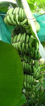 Bananstaude