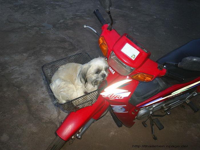 Hund im Motorradkörbchen