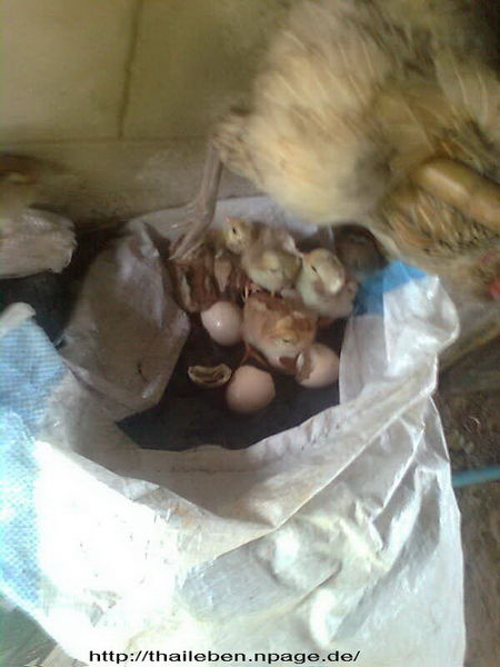 Huhn frisch geschlüpft