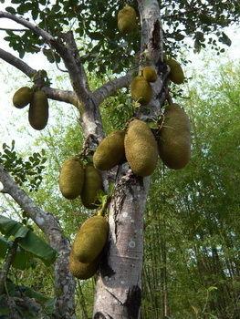 Jackfrucht baum