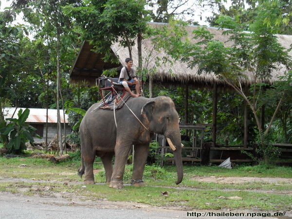 Koh-Chang junger Elefant wird gefüttert