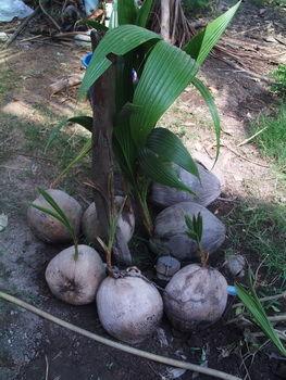 kokosnuss setzling