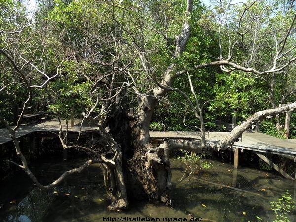 Mangrovenwald mit Steg