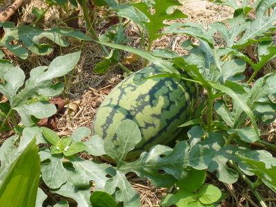 Melonen Pflanze