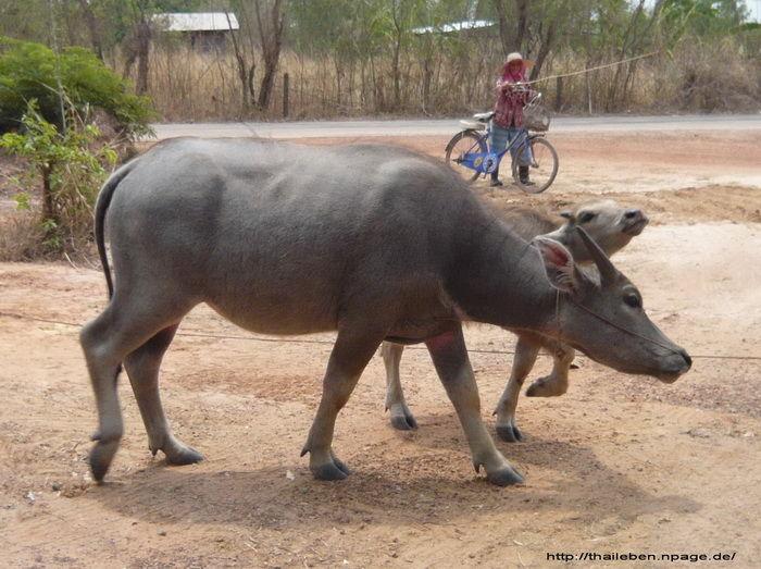 Wasserbüffel
