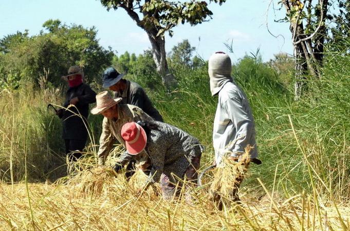 Menschen auf Reisfeld