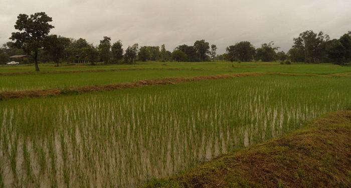 Reisfeld im Wasser
