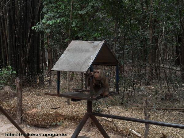 Affe ist angekettet