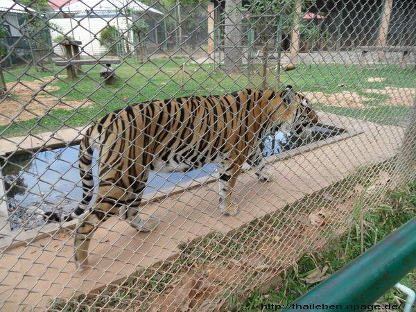 Tiger im Gehege