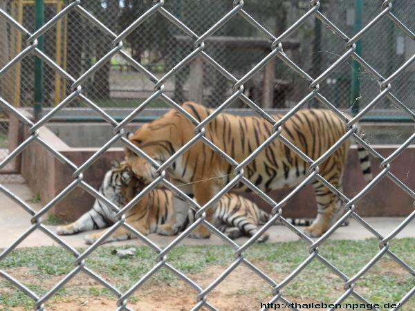 Zwei Tiger zusammen