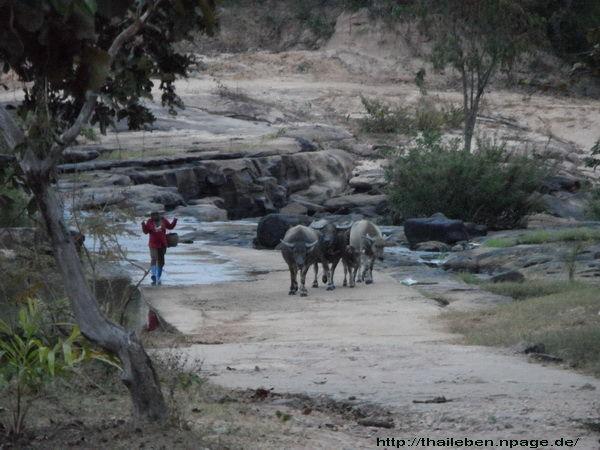 Romantisches Wasserbüffeltreiben