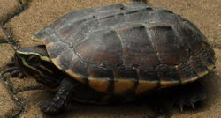 Thailand Isaan Armenhaus Schildkröte