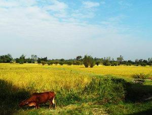 Reisfeld mit Kuh
