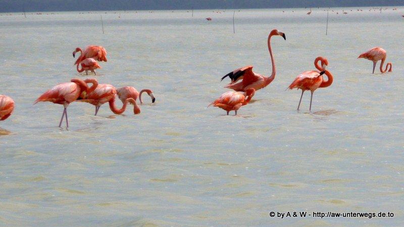 Foto von Flamingos bei Rio Lagartos