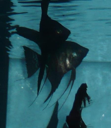 Aquarienfischzucht for Schwarzer skalar