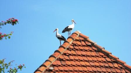 Störche auf einem Dach in Warnow