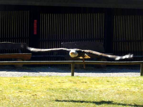 Adler-Flugshow-Hellenthal