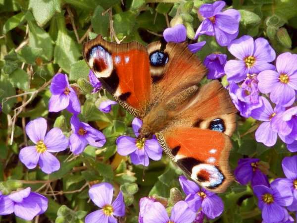 Schmetterling - Falkenauge
