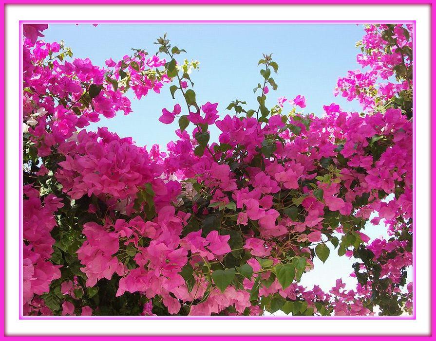 Pink Blüten Himmel mit Rahmen