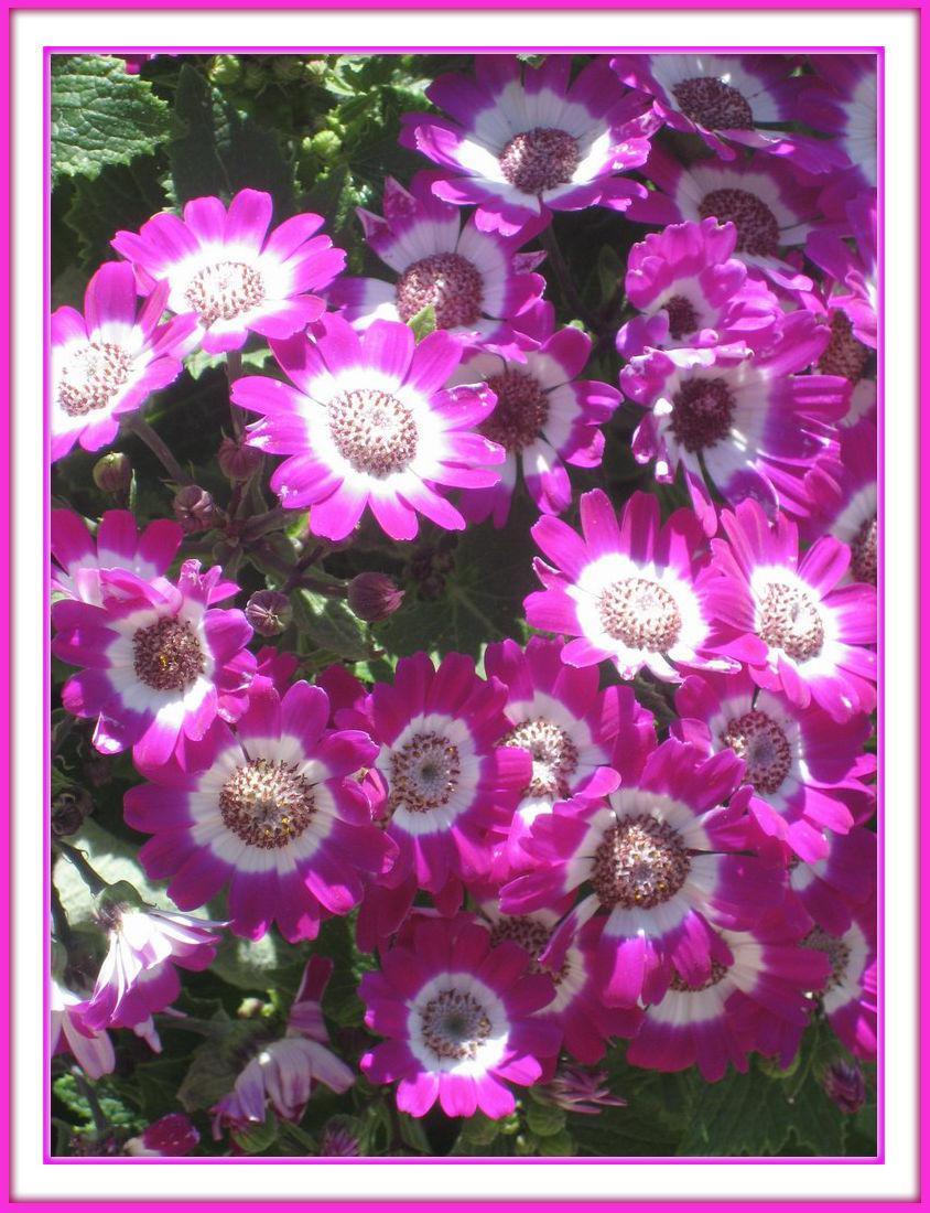 Sonnen Blumen Pink