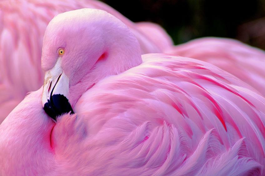 """Flamingo"" - Pink"