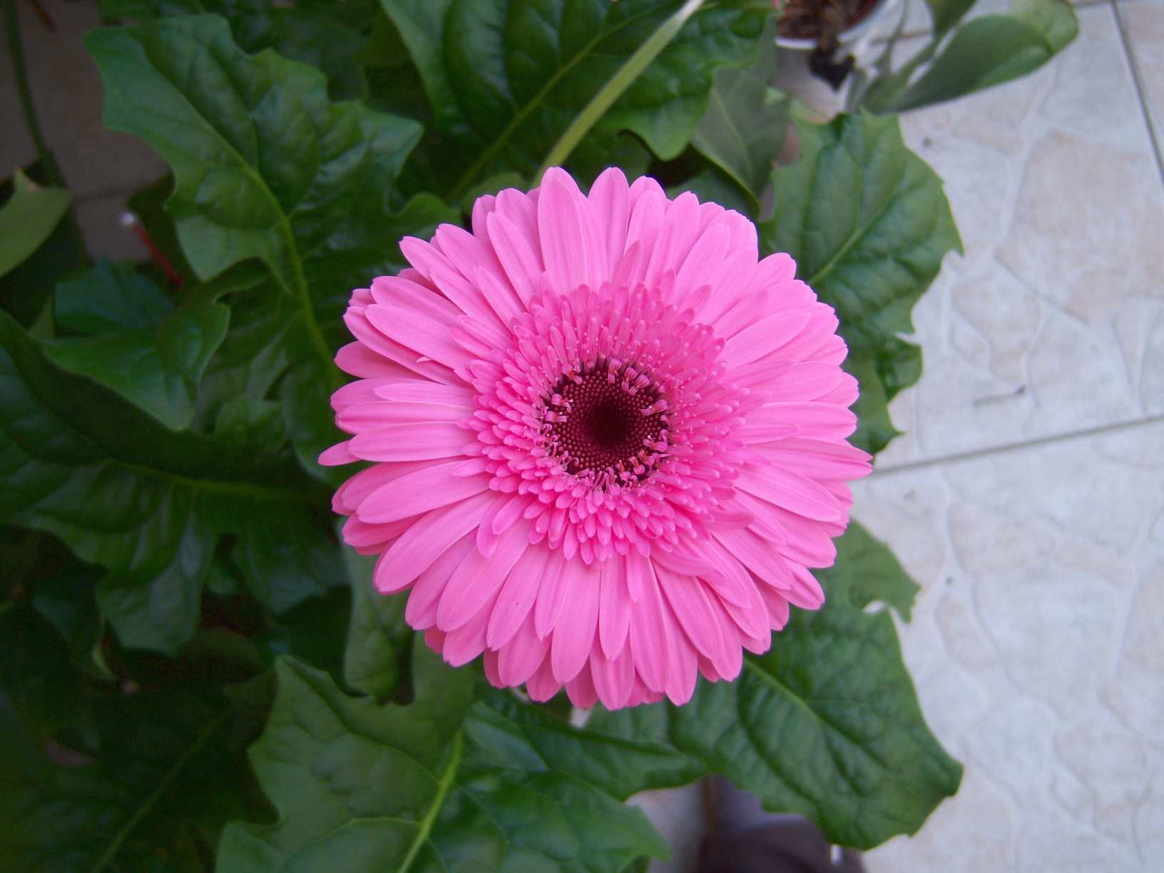 Pink Gerbera - Kraft und Liebe
