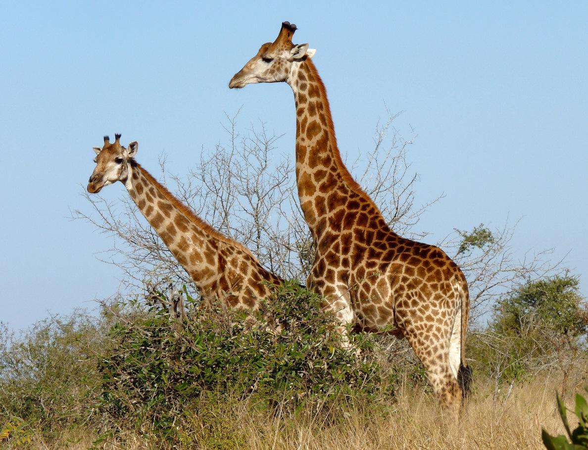 """""""Giraffen-Paar"""""""