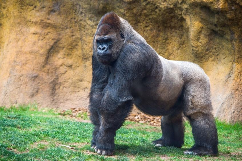 """Gorilla- Stolz"""