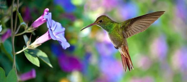 Kolibri am Nektar-Kelch