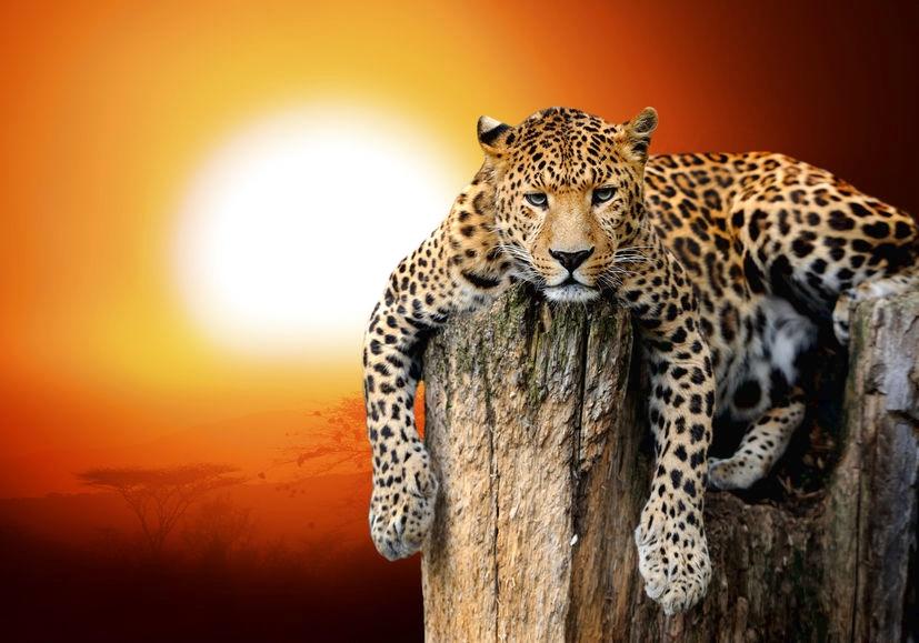 """""""Leopard chillt vor der Afrikanischen Sonne"""""""