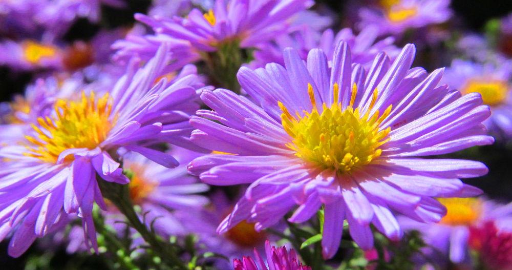 blumen lila blüten