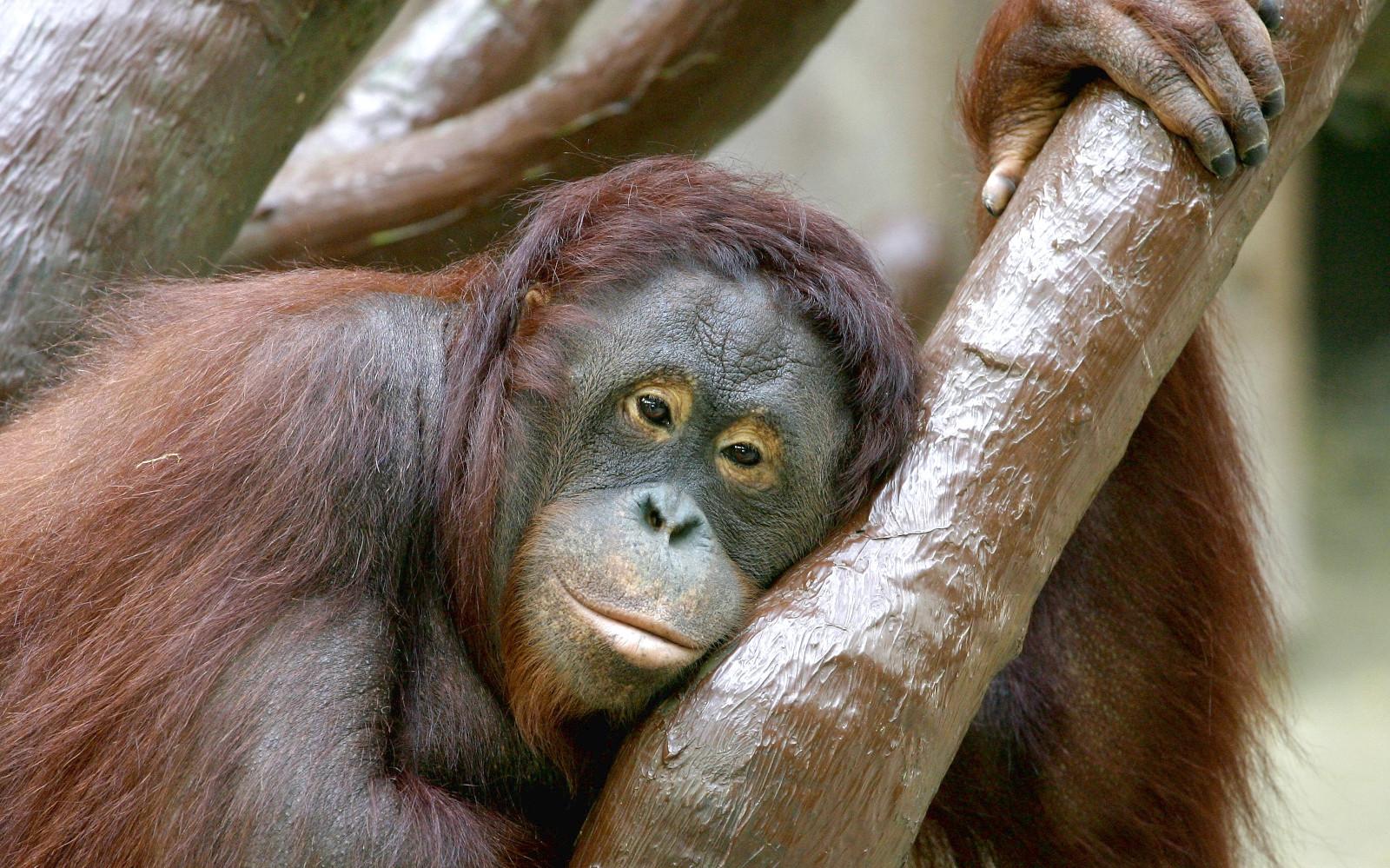 """""""Orang-Utan"""" - Chillt auf einem Baum"""
