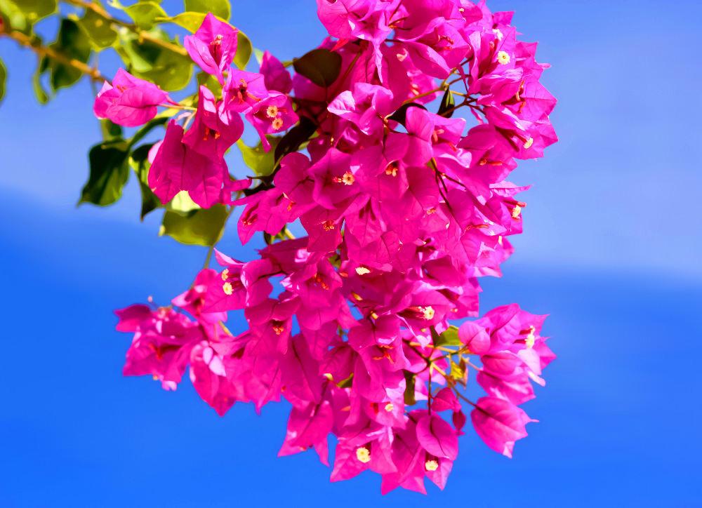 Pink Blüten am blauem Himmel