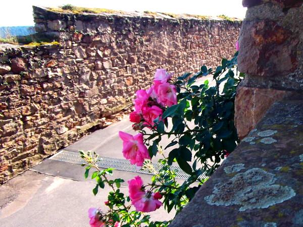 Pink Rosen am Wegesrand