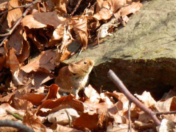 Süße Maus im Wald