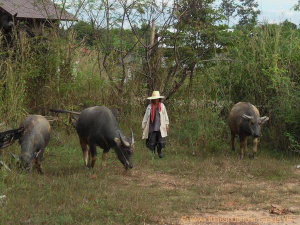 Kuhtreiben in Thailand